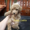 Anjing Brown Red Toy Poodle Jantan Promo Murah  #2