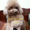 Anjing Brown Red Toy Poodle Jantan Promo Murah  #5