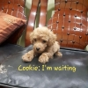 Anjing Brown Red Toy Poodle Jantan Promo Murah  #4