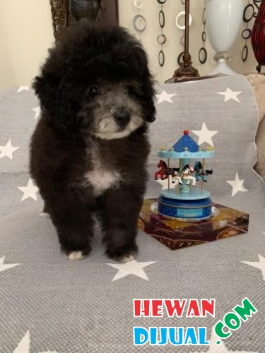 Anakan Silver Poodle Male High Quality #1