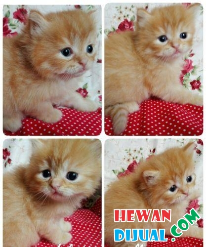 OPEN BOOKING ADOPT KITTEN PERSIA CUTE, SEHAT #1