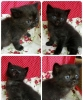 OPEN BOOKING ADOPT KITTEN PERSIA CUTE, SEHAT #2