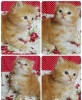 OPEN BOOKING ADOPT KITTEN PERSIA CUTE, SEHAT #3