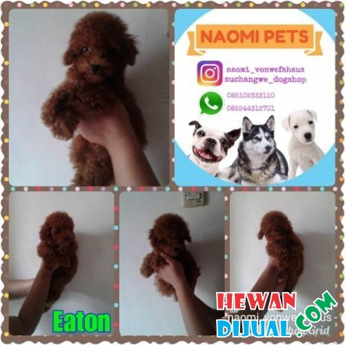 Red toy poodle jantan stambum vaksin good quality #1