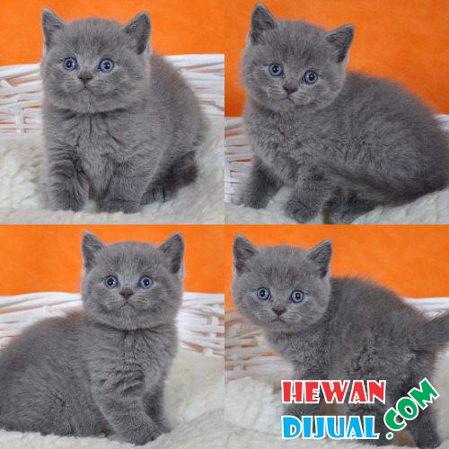 Kitten British Shorthair Lucu #1