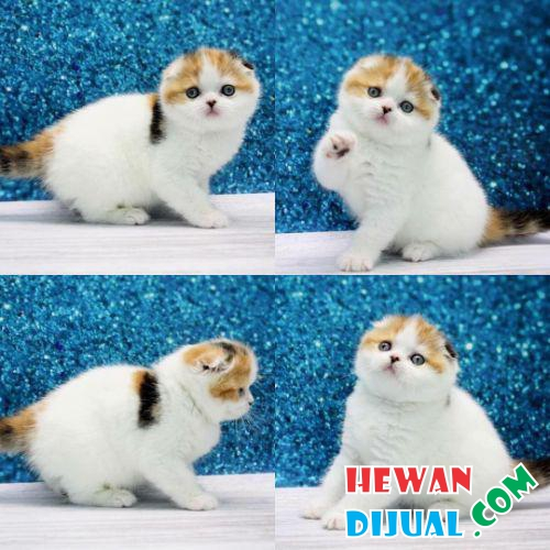 Kitten Scottish Fold Lucu #1