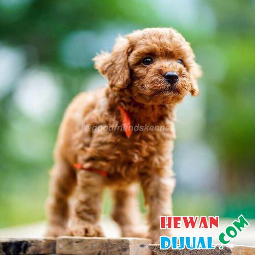 3 Male Red Toy Poodle #1