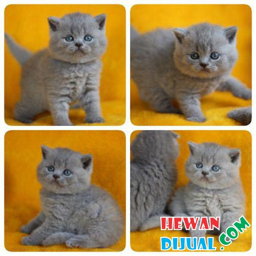 Kitten British Shorthair Betina #1