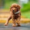 3 Male Red Toy Poodle #2