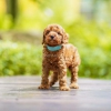 3 Male Red Toy Poodle #3