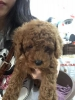 Anjing Puppy Super Red Toy Poodle #2
