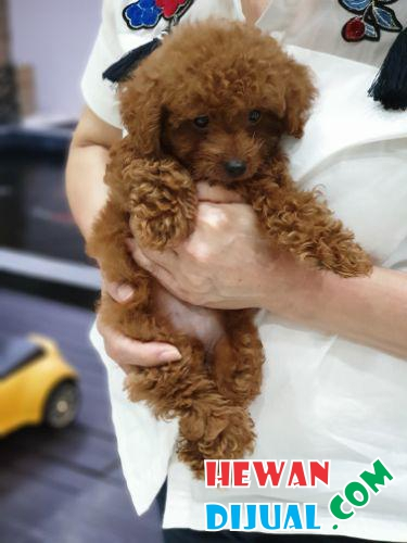 RED POODLE APRICOT 2MONTHS FEMALE #1