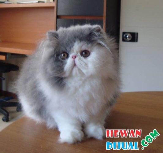 Unduh 98+  Gambar Kucing Persia Hidung Pesek Terbaik Gratis
