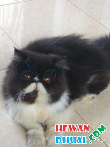 Kucing persia peaknose long hair non ped #1