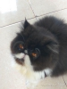 Kucing persia peaknose long hair non ped #3
