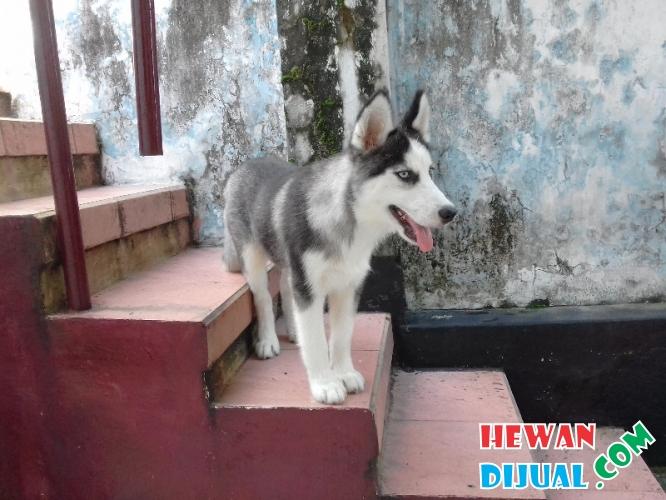 Dijual Anjing Siberian Husky Betina Umur 6 Bulan Hewandijual Com