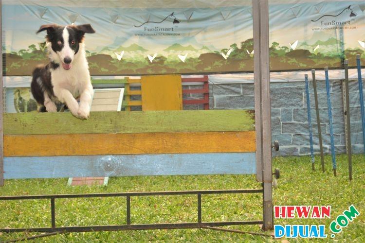 25++ Harga anjing border collie terupdate