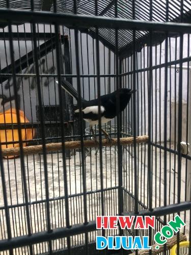 Dijual Burung Kacer Murah Terpercaya Hewandijual Com