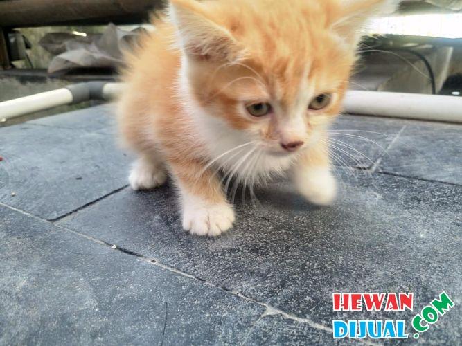Kucing Umur 3 Bulan Kucing Lucu