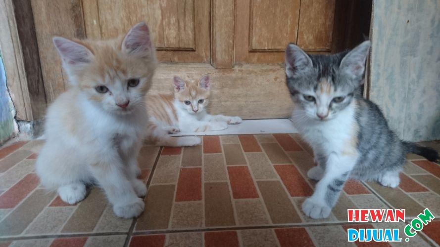 Dijual 5 Ekor Kucing Persia Persilangan Persia X Persia Mainecoon Hewandijual Com