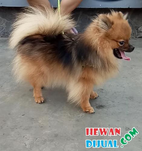 27+ Gambar anjing mini pom pom terbaru