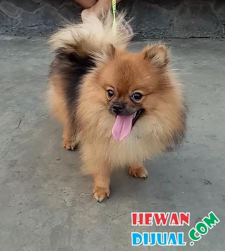 25++ Anjing mini pom coklat terbaru