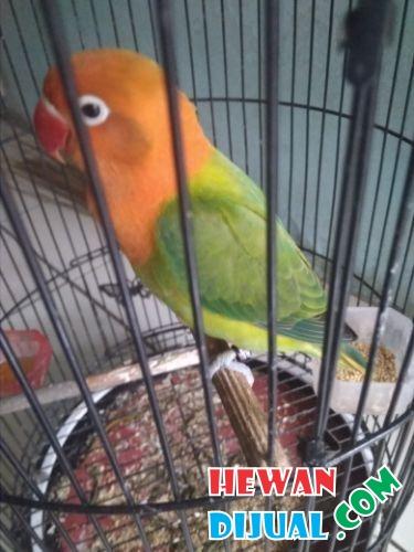 Dijual 1 Ekor Lovebird Biola Betina Hewandijual Com
