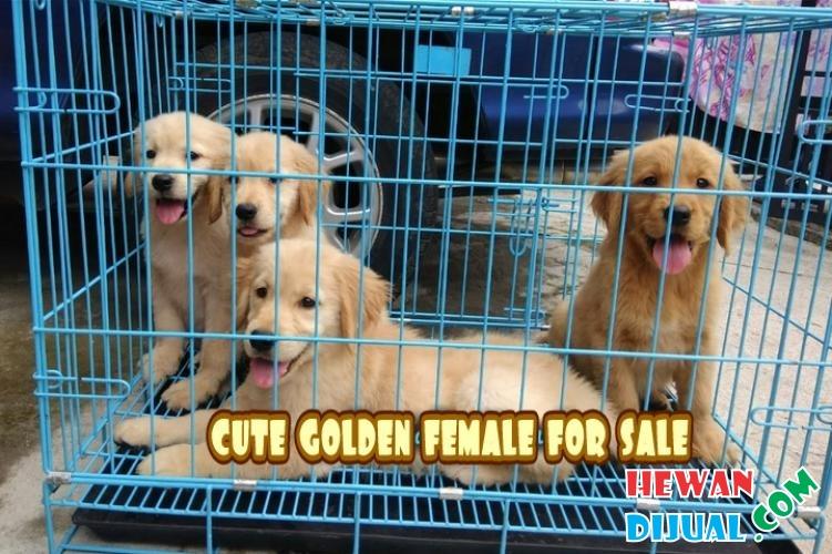 Dijual Anjing Golden Retriever Di Semarang Hewandijual Com