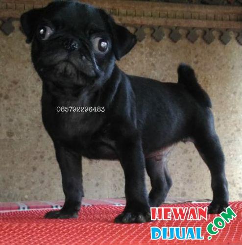 47++ Harga anjing mini pug terbaru