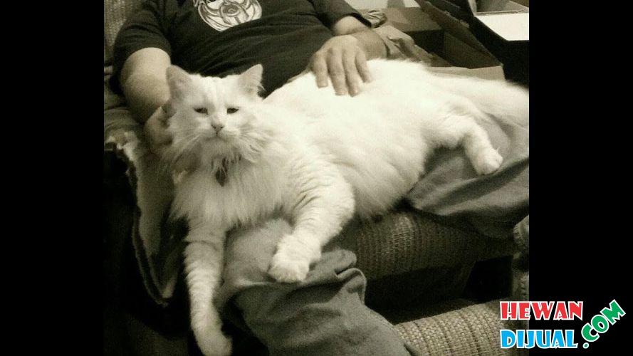 Dijual Kucing Maine Coon Warna White Solid Mata Odd Eye Sangat Cantik Cocok Buat Kontes Non Ped Hewandijual Com