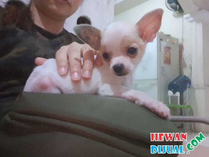 Dijual Anjing Chihuahua Murah Terpercaya Hewandijual Com