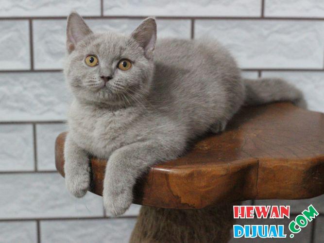 Dijual Kucing British Shorthair Di Sleman Hewandijual Com