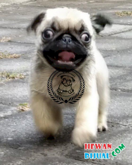 Jual Anjing Pug