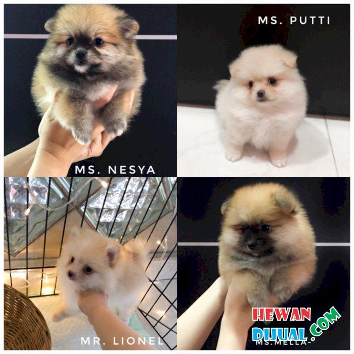 Dijual Anjing Pomeranian Murah Terpercaya Hewandijual Com