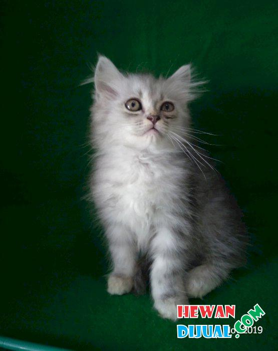 Gambar Kucing Umur 2 Bulan godean.web.id