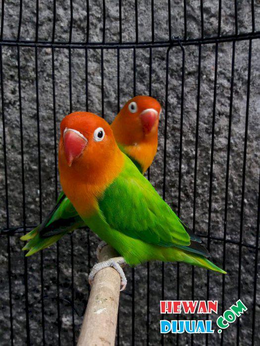 Dijual Burung Murah Terpercaya Hewandijual Com