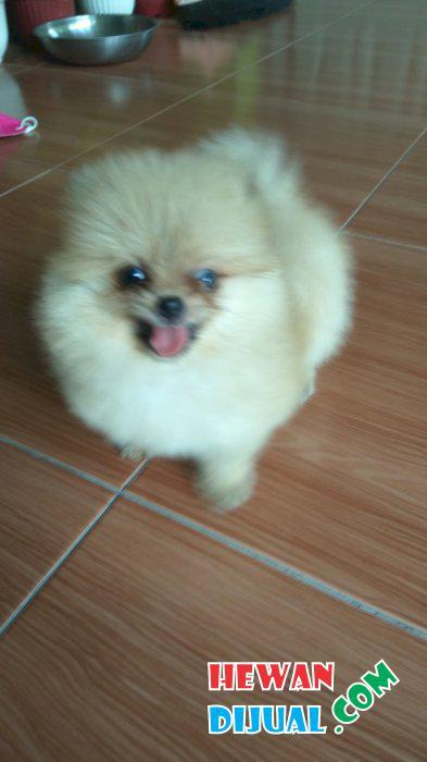 24+ Anjing mini pom putih terbaru