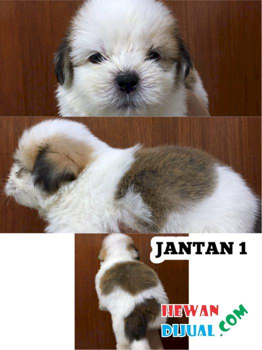 Dijual Anjing Shih Tzu Murah Terpercaya Hewandijual Com