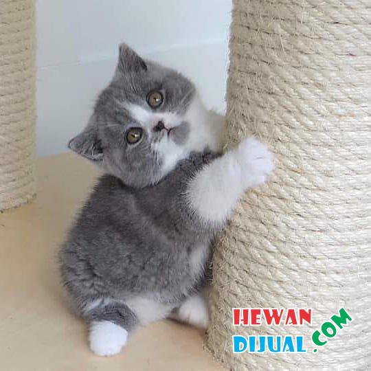 Dijual Kucing British Shorthair Sudah Vaksin Linca ...